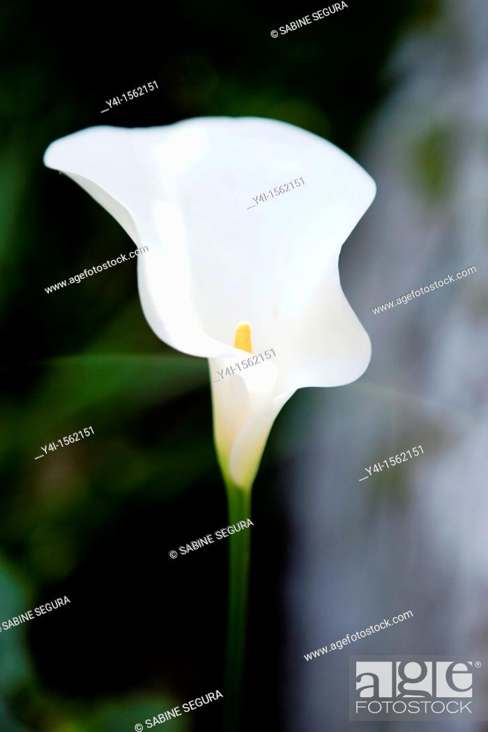 Stock Photo: Arum, Zantedeschia Aethiopica  France.