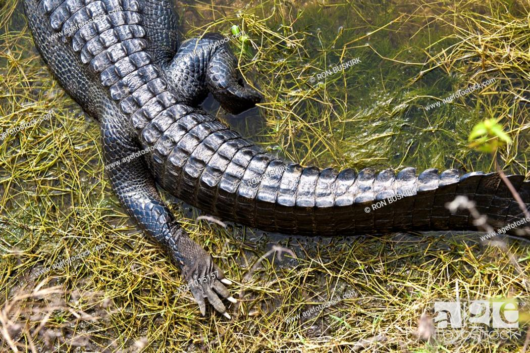 Stock Photo: Everglades, Florida - Dec 2008 - American Alligator Alligator mississippiensis in wetlands along Alligator Alley in South Florida.
