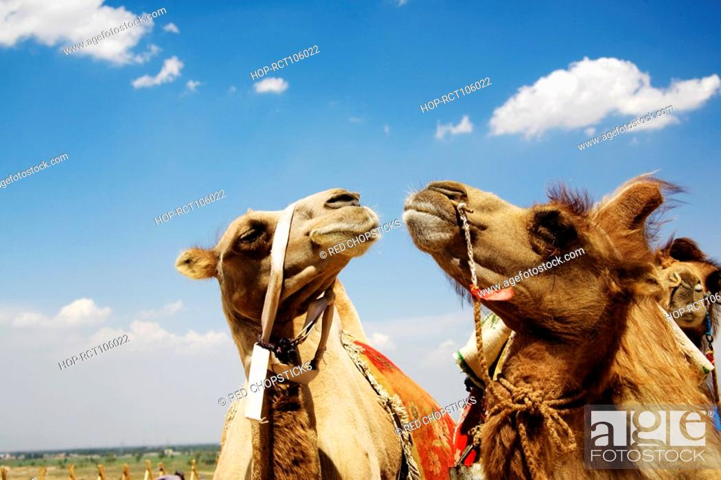 Stock Photo: Close-up of Bactrian camels Camelus bactrianus, Kubuqi Desert, Inner Mongolia, China.