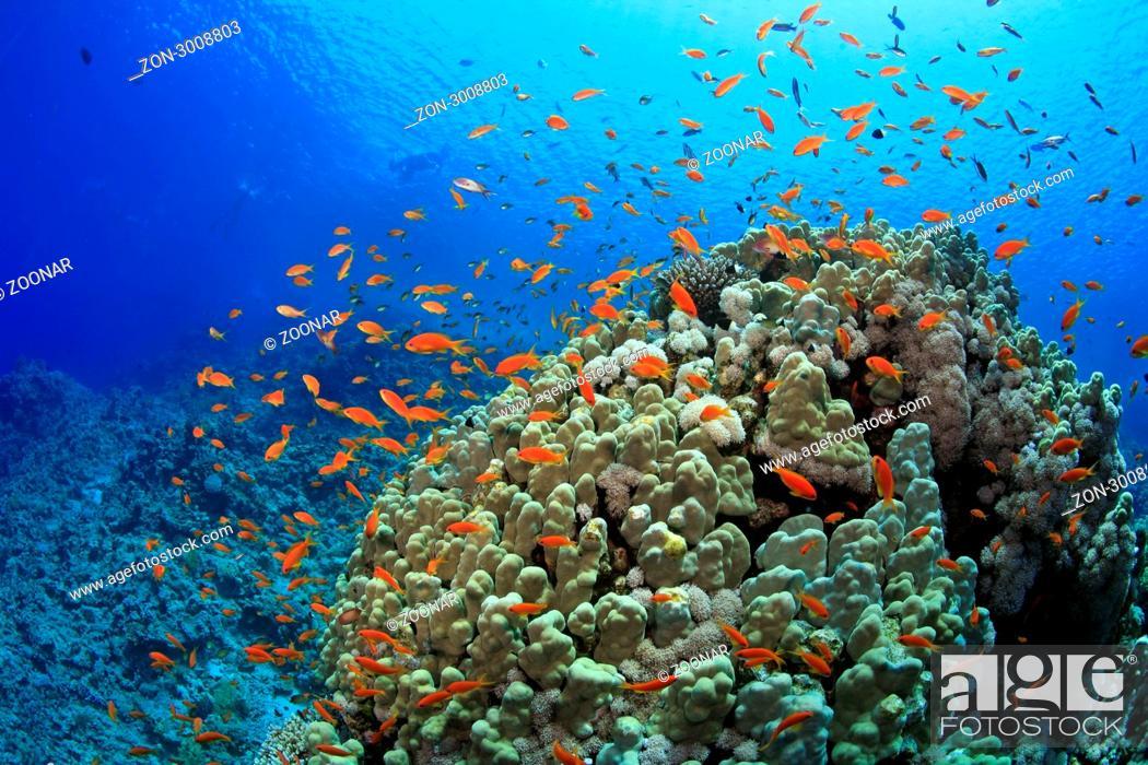 Stock Photo: Korallenriff bei Ras Nasrani, Sharm el Sheikh, Ägypten, Rotes Meer, Coral reef of Ras Nasrani, Sharm el Sheikh, Aegypt, Red Sea.