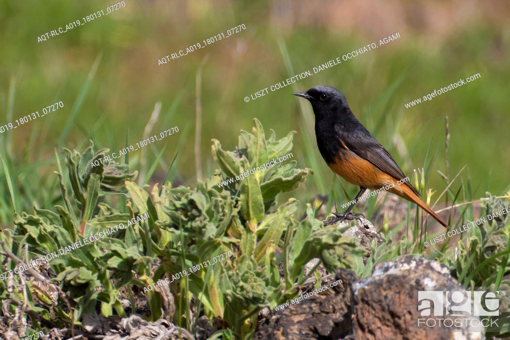 Stock Photo: Male Black Redstart, Black Redstart, Phoenicurus ochruros.