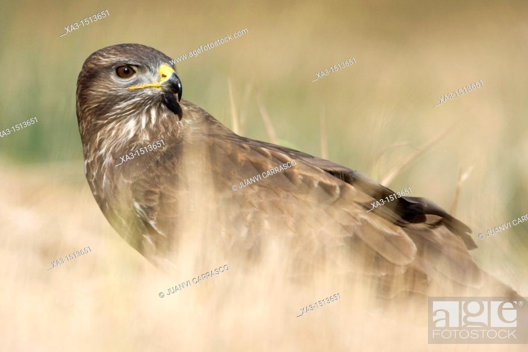 Stock Photo: Common buzzard, Buteo buteo, Valencia, Spain.