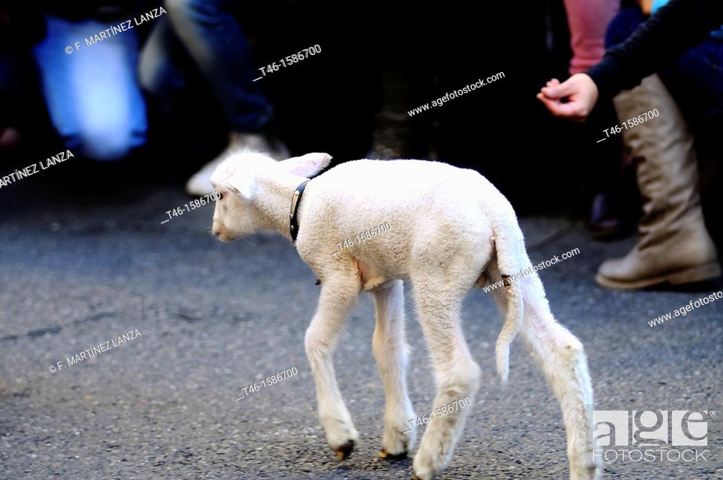 Imagen: Lamb, Fiesta de la Transhumancia, Spain.