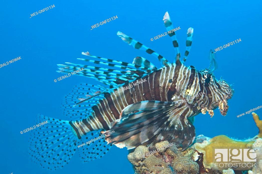 Stock Photo: Egypt, Red Sea, Common lionfish Pterois volitans.