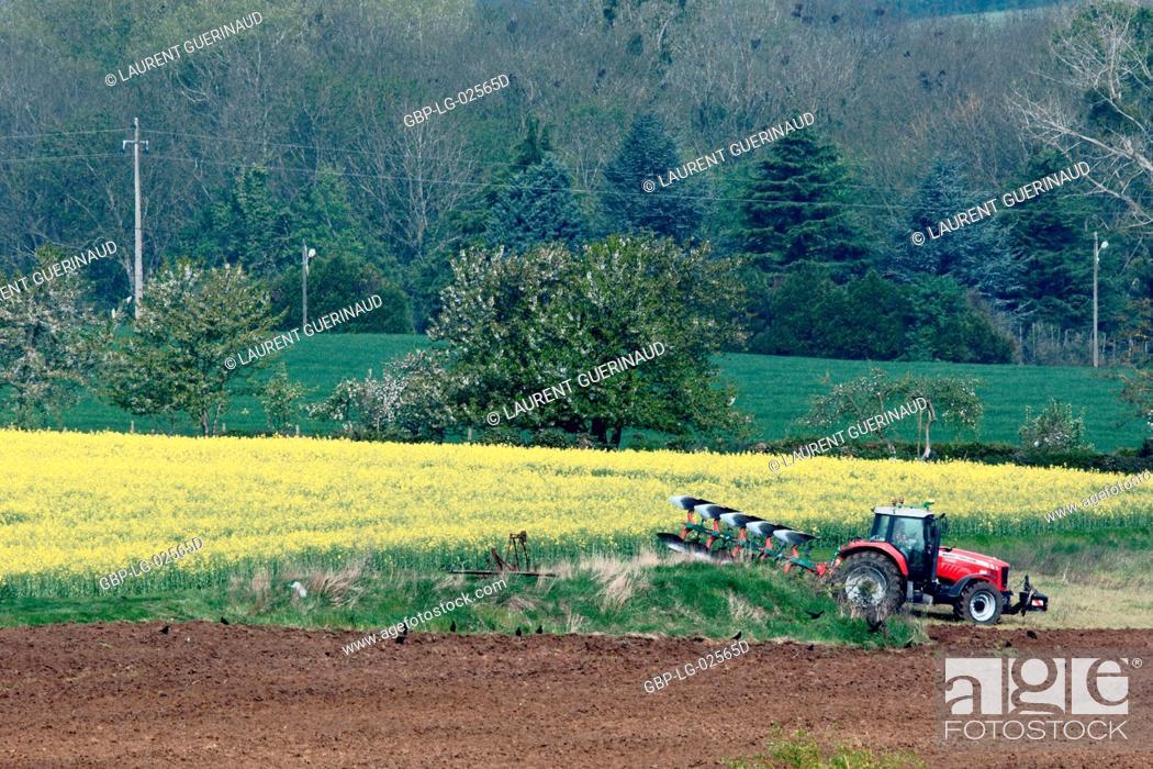 Stock Photo: Plantation, Champs de Colza (Brassica napus), Boissy sous Saint Yon, Essonne, Ile de France, France.