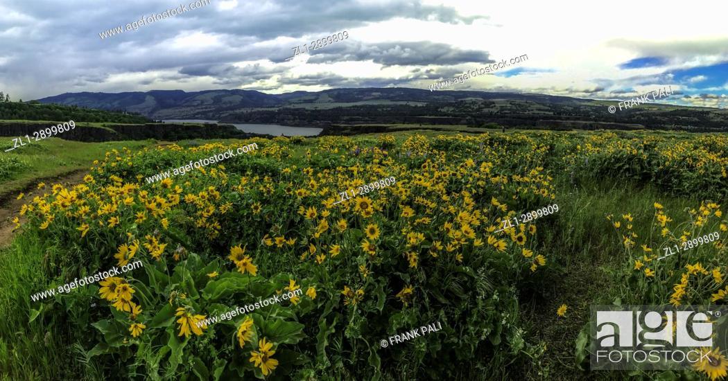 Stock Photo: Columbia River Gorge, Oregon, USA; Balsamroot and Lupine wildflowers.