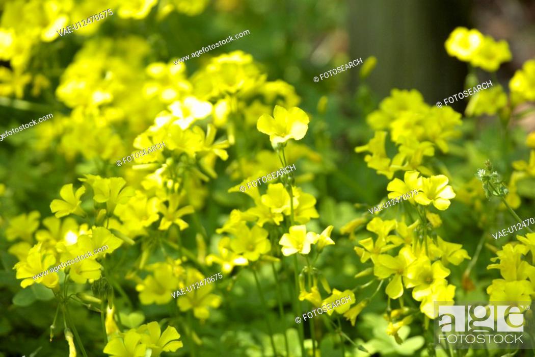 Stock Photo: Oxalis pescaprae.