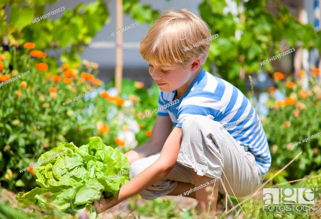 Stock Photo: Germany, Bavaria, Boy picking lettuce in garden.