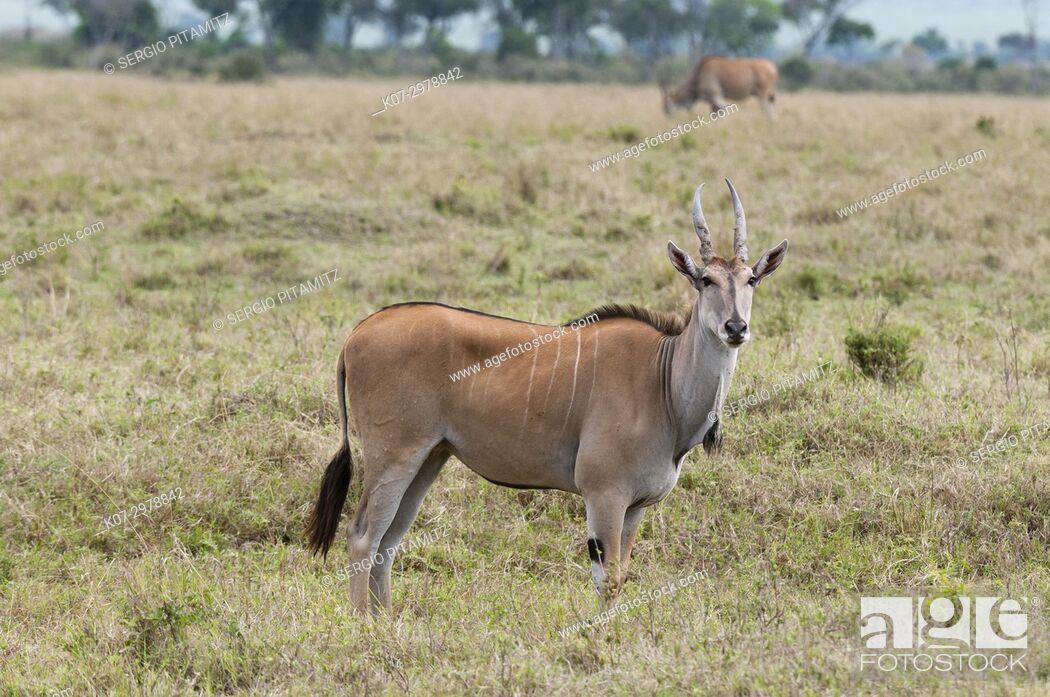 Stock Photo: Eland (Taurotragus oryx), Masai Mara, Kenya.