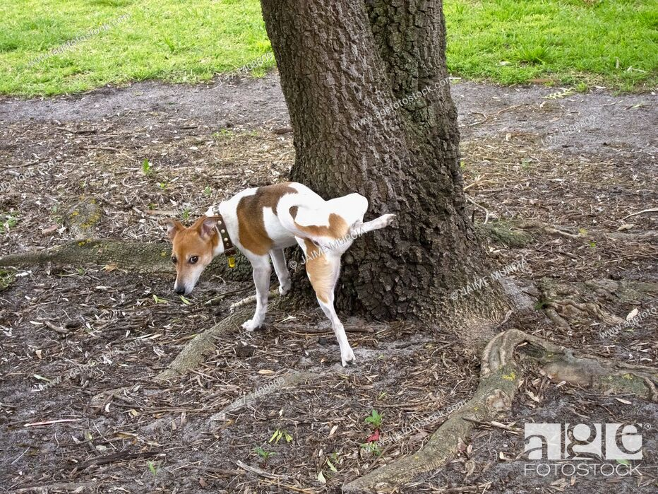 Stock Photo: Small dog urinating on a tree. Melbourne, Australia.