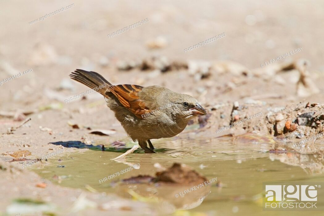 Stock Photo: Bay-winged Cowbird (Agelaioides badius) adult, drinking at pool, Buenos Aires, Argentina, February.