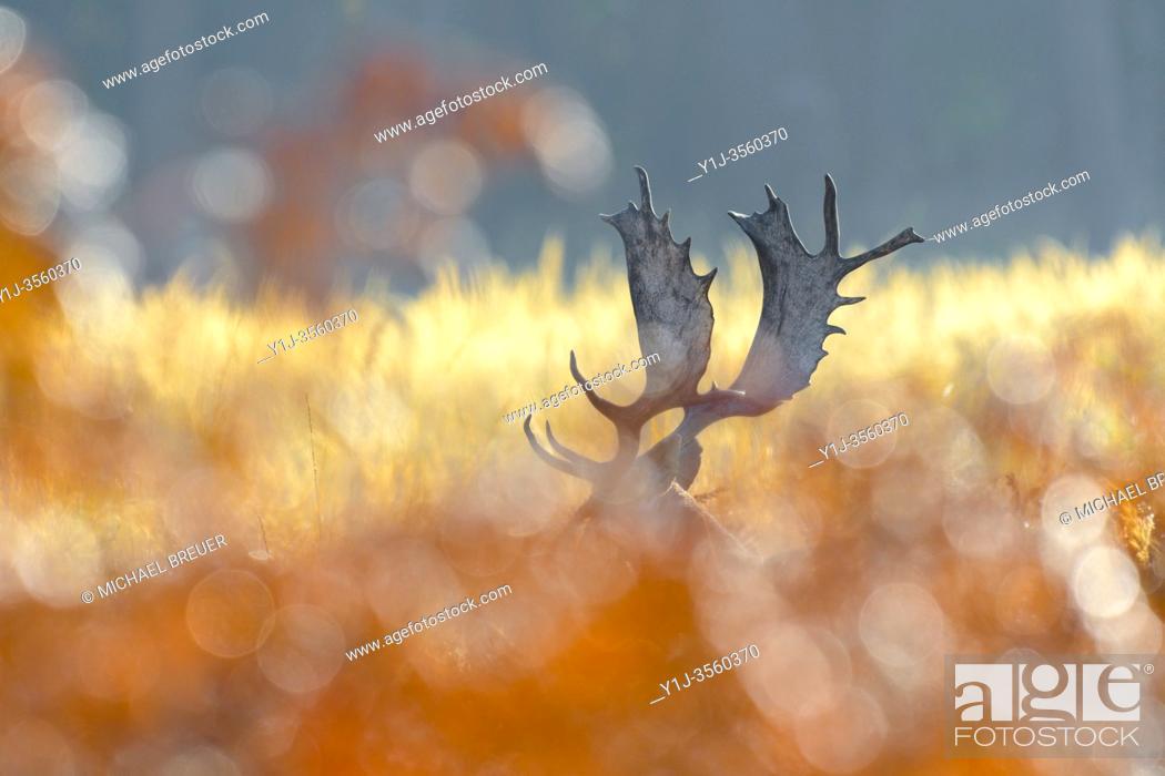 Stock Photo: Fallow deer in autumn (Cervus dama), Germany, Europe.