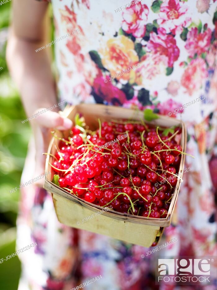 Stock Photo: Girl holding redcurrants in basket.