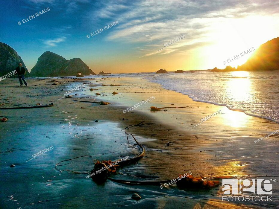 Stock Photo: Bull kelp seaweed washed up on wet sand of a beach during low tide at sunset in Mendocino, California.