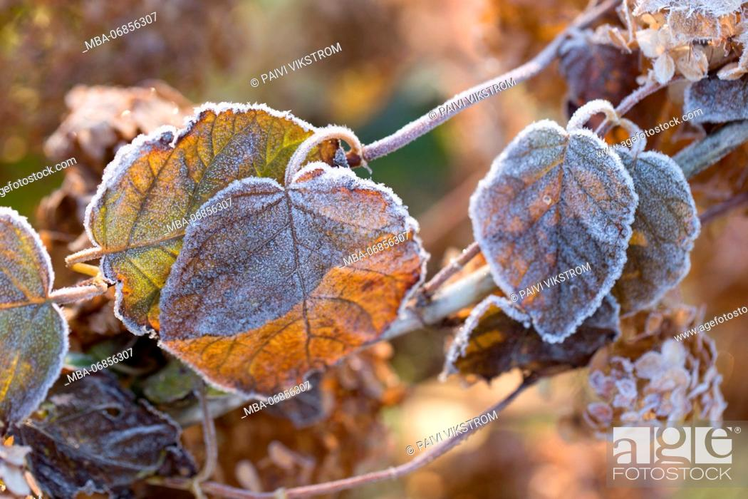 Stock Photo: Frosty hydrangea leaves on a blur background.