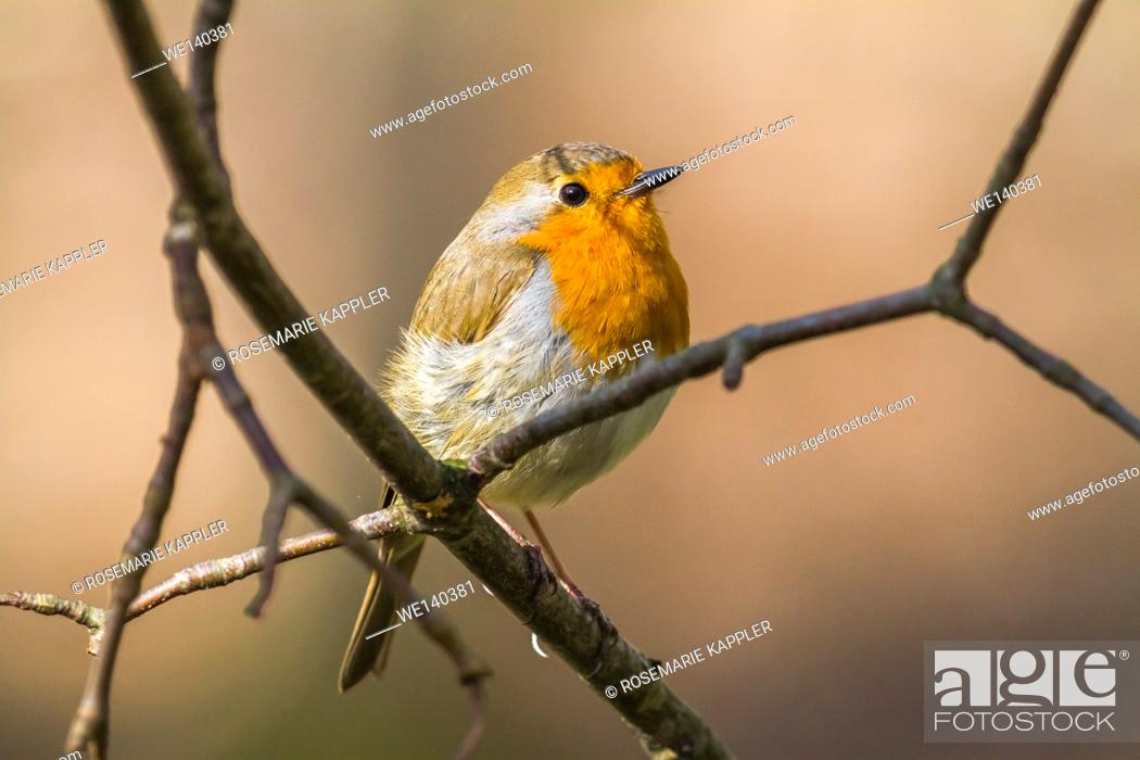Stock Photo: Germany, Saarland, Bexbach, A robin redbreast is searching for fodder.