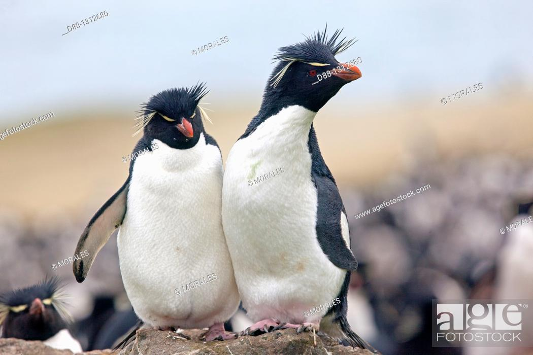 Stock Photo: Falkland Islands , Pebble island , Rockhopper penguin  Eudyptes chrysocome chrysocome.