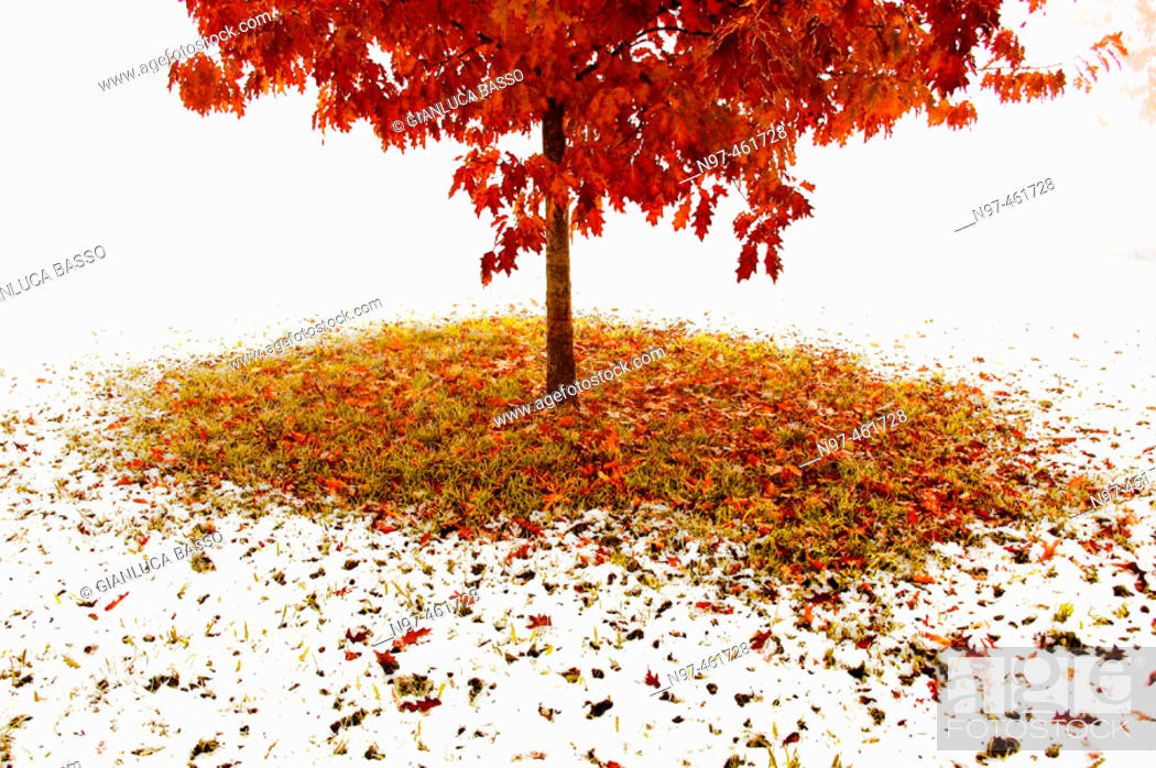Stock Photo: A young oak with orange leaves in the late autumn after a snowing night.