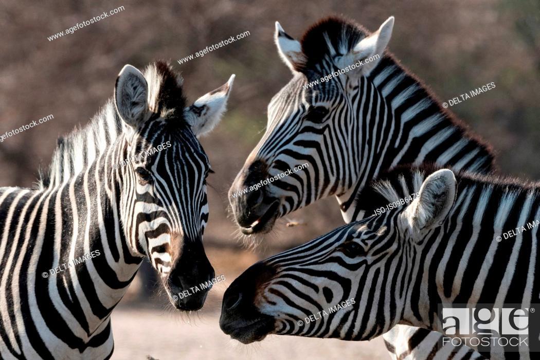 Stock Photo: Three Burchell's zebra (Equus burchellii), Kalahari, Botswana, Africa.