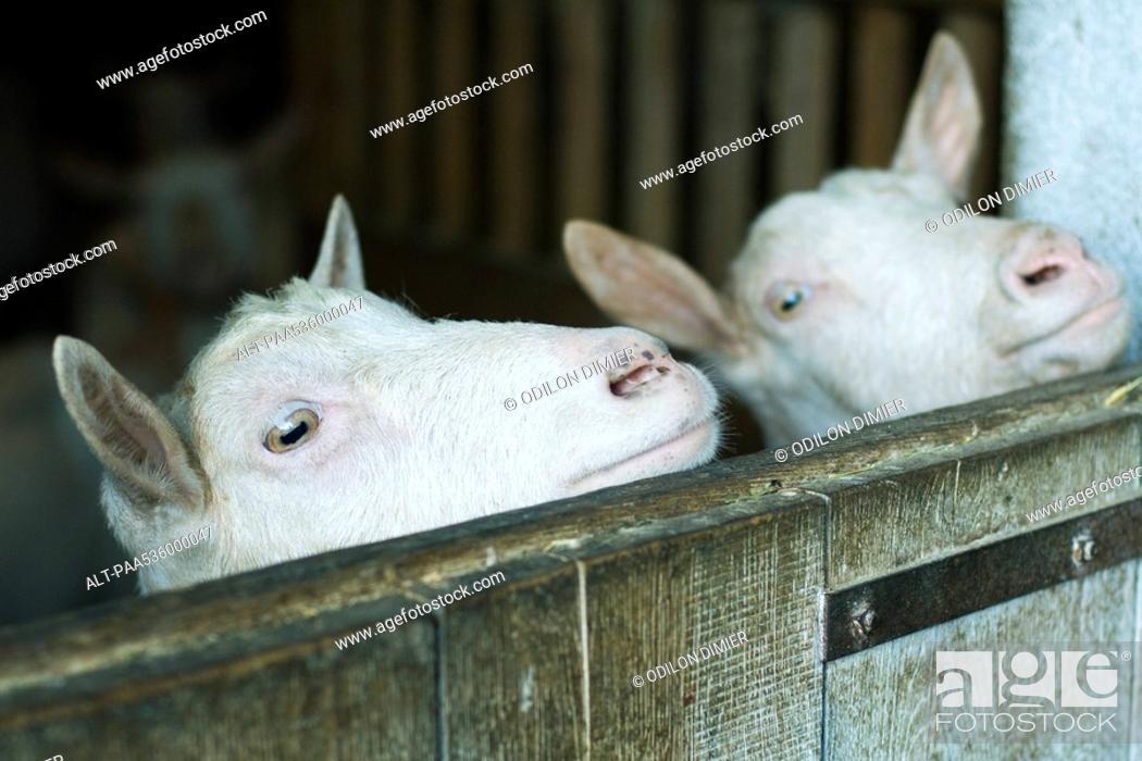 Stock Photo: Goats looking over barn door.