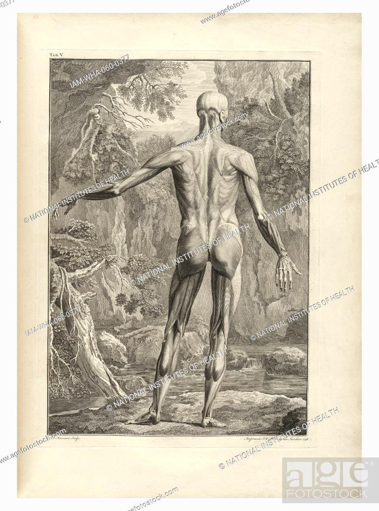 anatomical drawings by Bernhard Siegfried Albinus \'Tabulae sceleti ...
