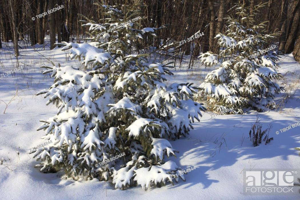 Stock Photo: Winter, forest, snow, Montreal, Canada;.