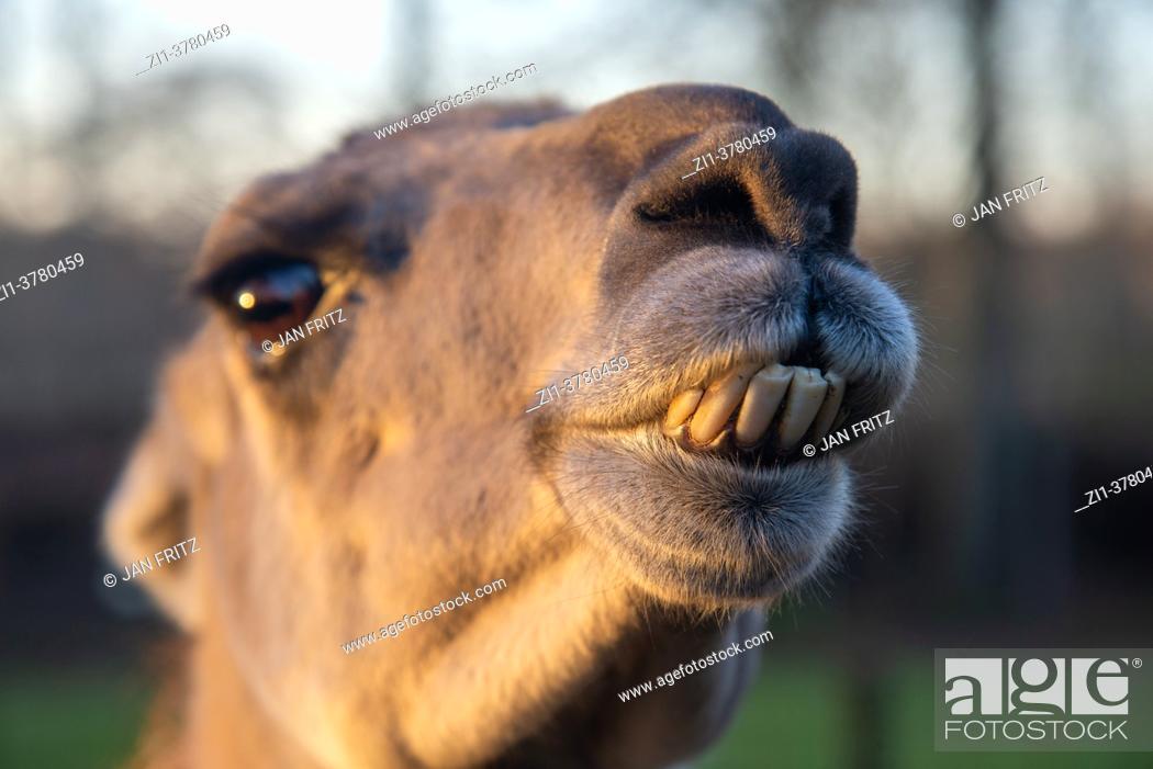 Photo de stock: close up of lama at farm in Holland.