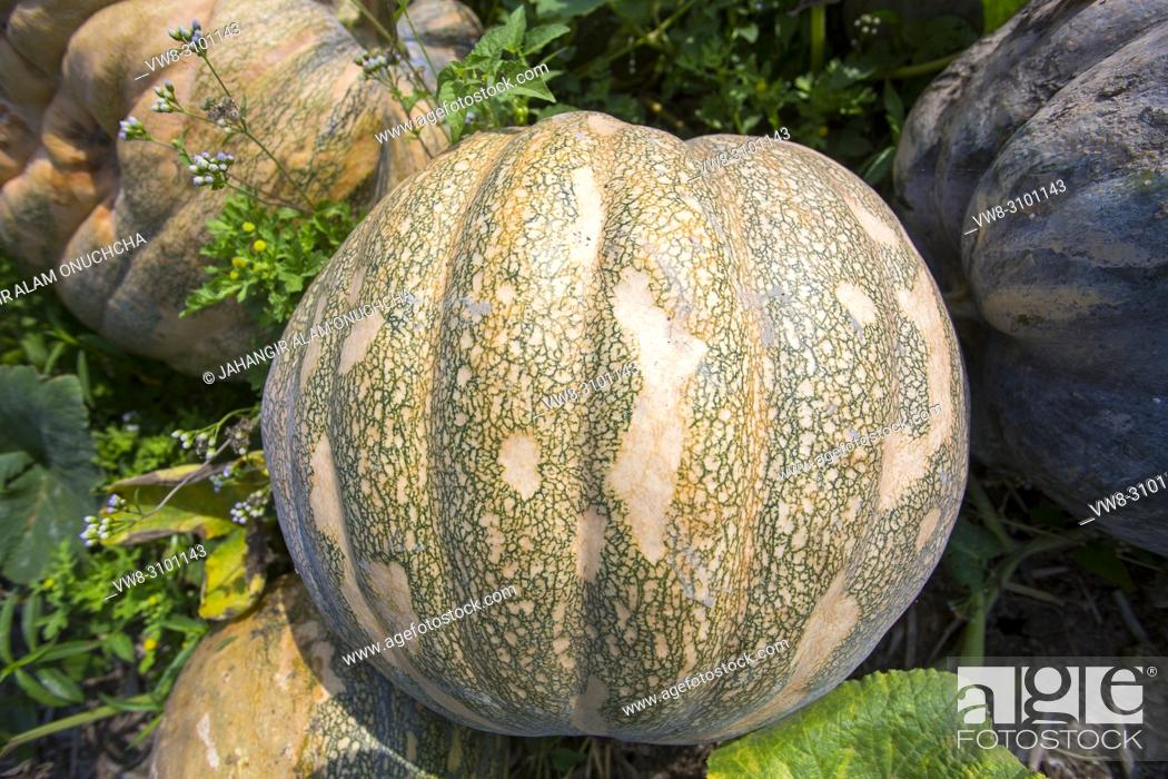 Stock Photo: The Arial Beel (water body) of Munshiganj is famous for producing special kind of big-sized of sweet pumpkins; the local growers are making a huge profit.
