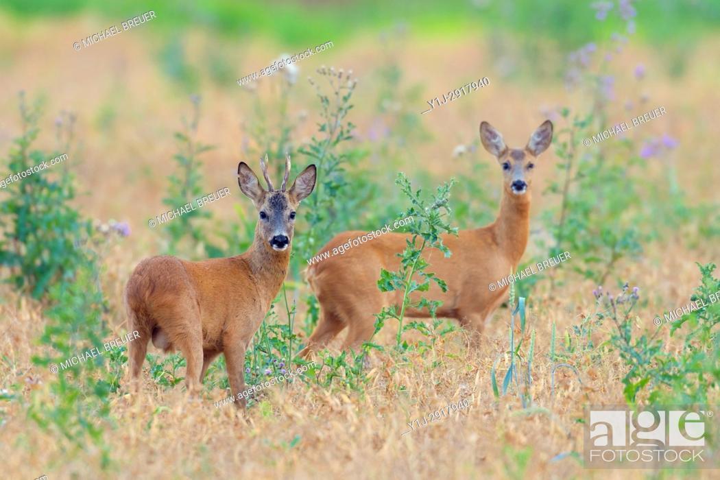 Stock Photo: Western Roe Deers (Capreolus capreolus), Hesse, Germany, Europe.