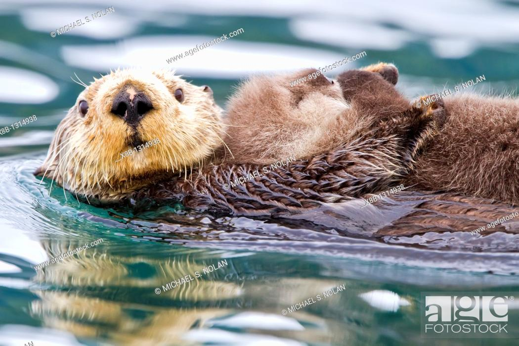 Stock Photo: Adult sea otter Enhydra lutris kenyoni mother and pup in Inian Pass, Southeastern Alaska, USA  Pacific Ocean  MORE INFO: This sub-species ranges from the.
