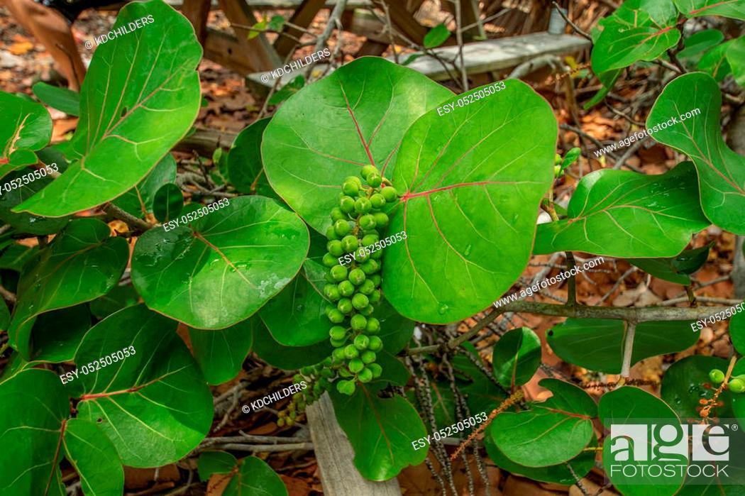 Stock Photo: Wild sea grapes growing on a coastal shore.