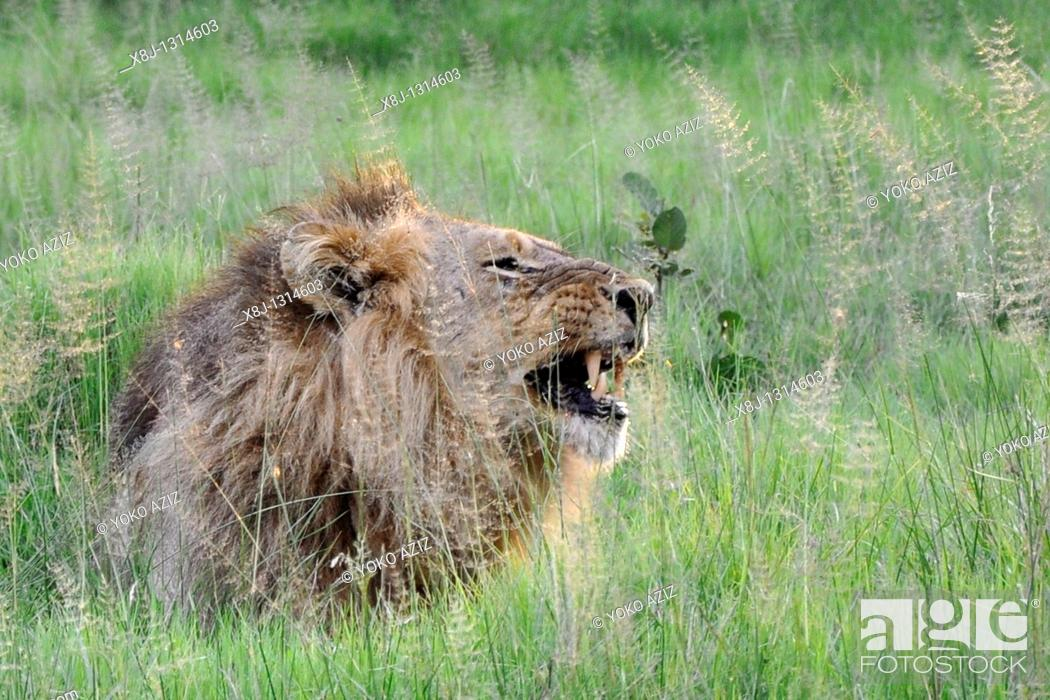Stock Photo: lion, Moremi National Park, Botswana.