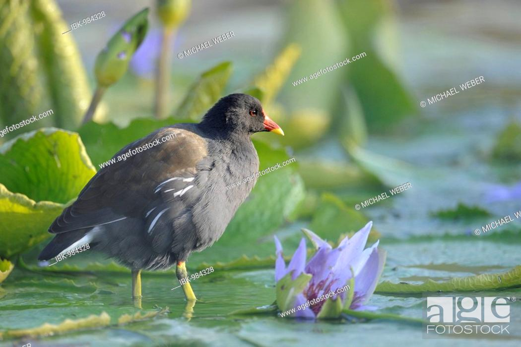 Stock Photo: Common Moorhen (Gallinula chloropus) in pond with waterlily (Nymphaea).
