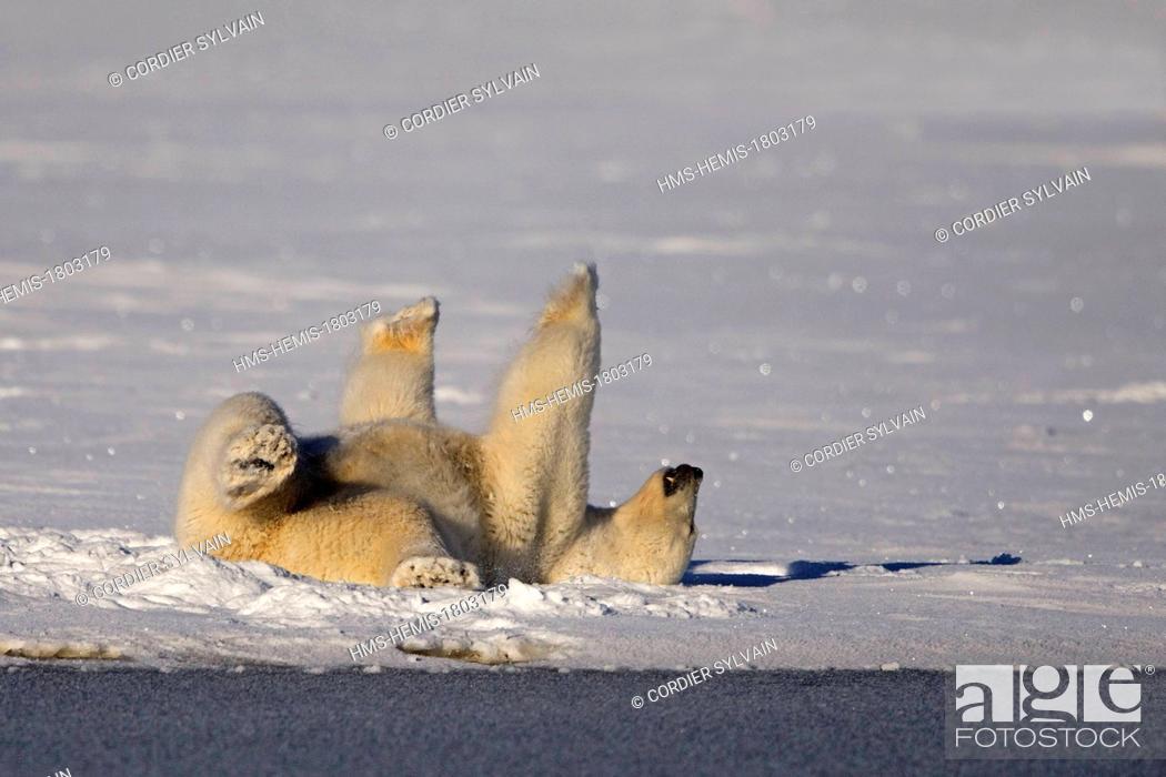 Stock Photo: United States, Alaska, Arctic National Wildlife Refuge, Kaktovik, Polar Bear( Ursus maritimus ), rolling in the snow to clean himself.