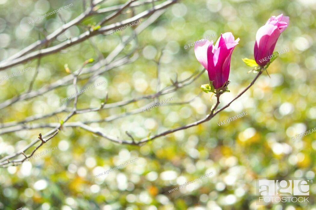 Stock Photo: Magnolia.