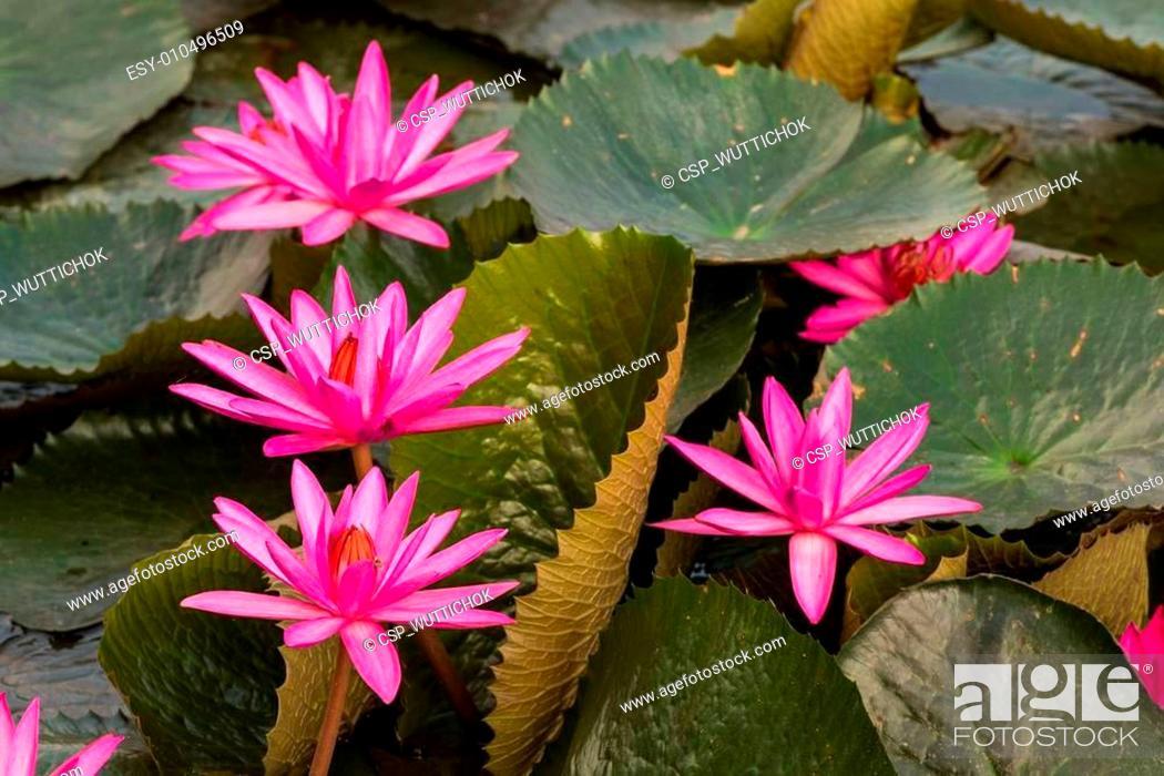 Imagen: pink color fresh lotus flower blossom.