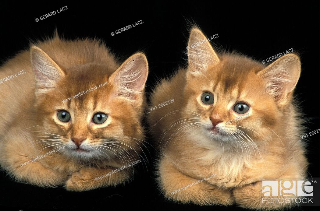 Imagen: Red Somali Domestic Cat, Kittens laying agains Black Background.