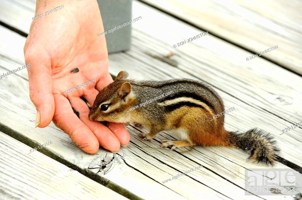 Stock Photo: Feeding a tame chipmunk.