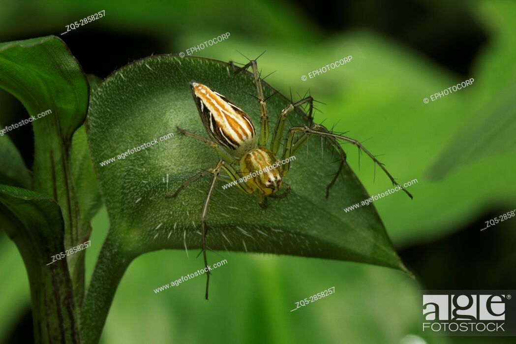 Stock Photo: Lynx spider, Aarey Milk Colony , INDIA. Lynx spiders are one of the most common spiders found in garden. They are ambush predators and spend most of their time.