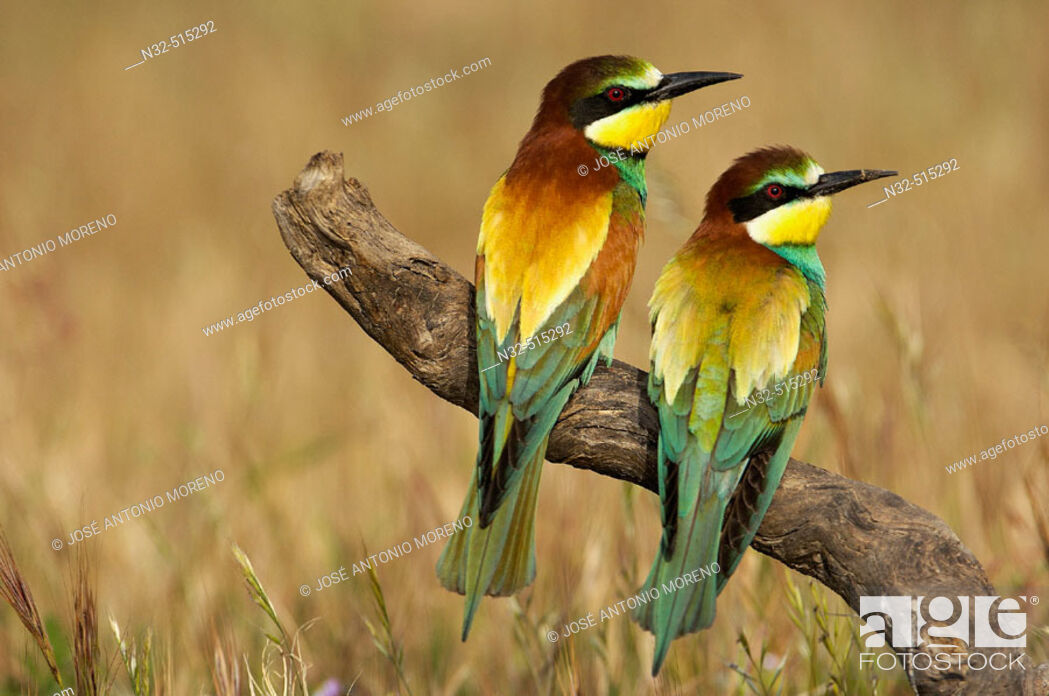 Stock Photo: European Bee Eater (Merops apiaster). Málaga province, Andalusia. Spain.
