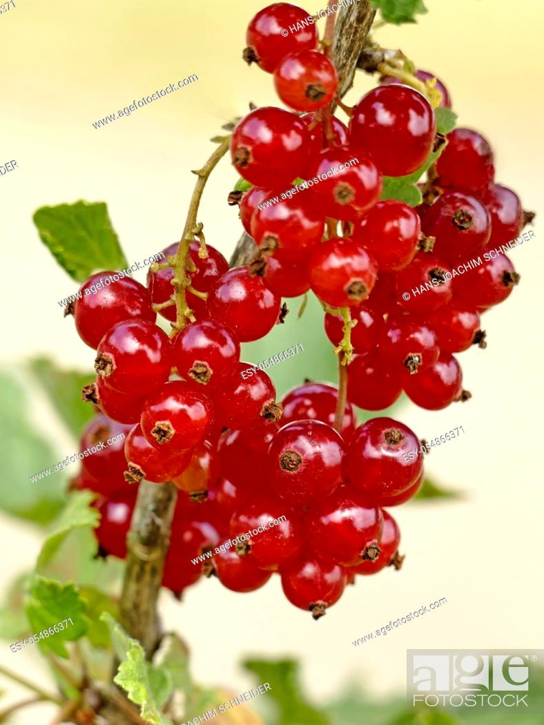 Stock Photo: red currant, closeup of the ripe berries.