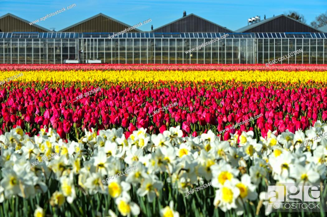Photo de stock: Cultivation of daffodils and tulips for the production of flower bulbs in the Bollenstreek area, plant nursery behind, Noordwijkerhout, Netherlands.