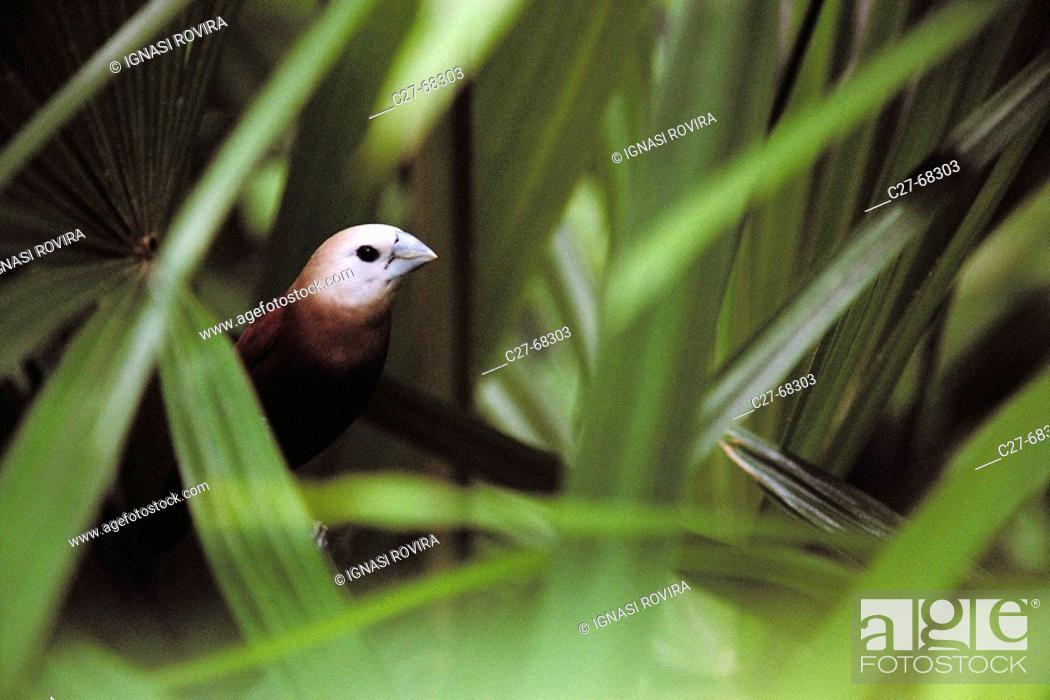 Stock Photo: White-headed Munia (Lonchura maja). Malaysia.