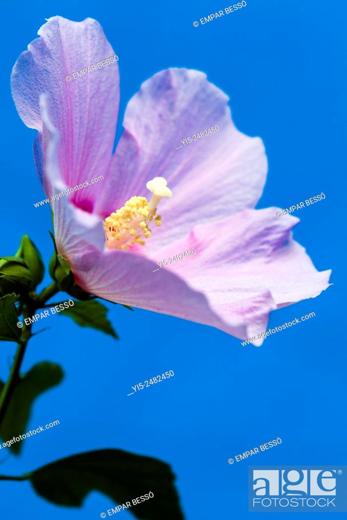 Stock Photo: Rose mallow (Hibiscus syriacus), Valencia, Spain.