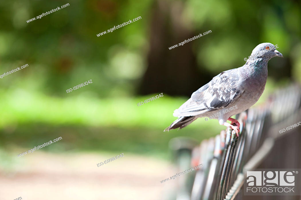 Stock Photo: Pigeon perched on a fence.