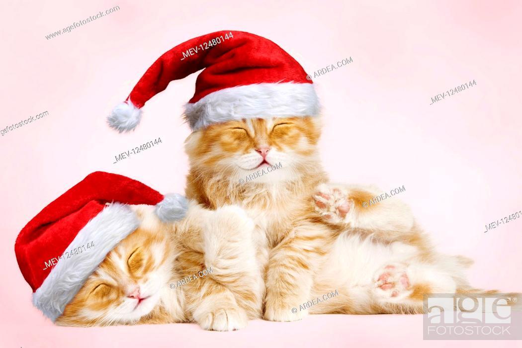 Imagen: Siberian Cat, kittens cuddling and smiling wearing.