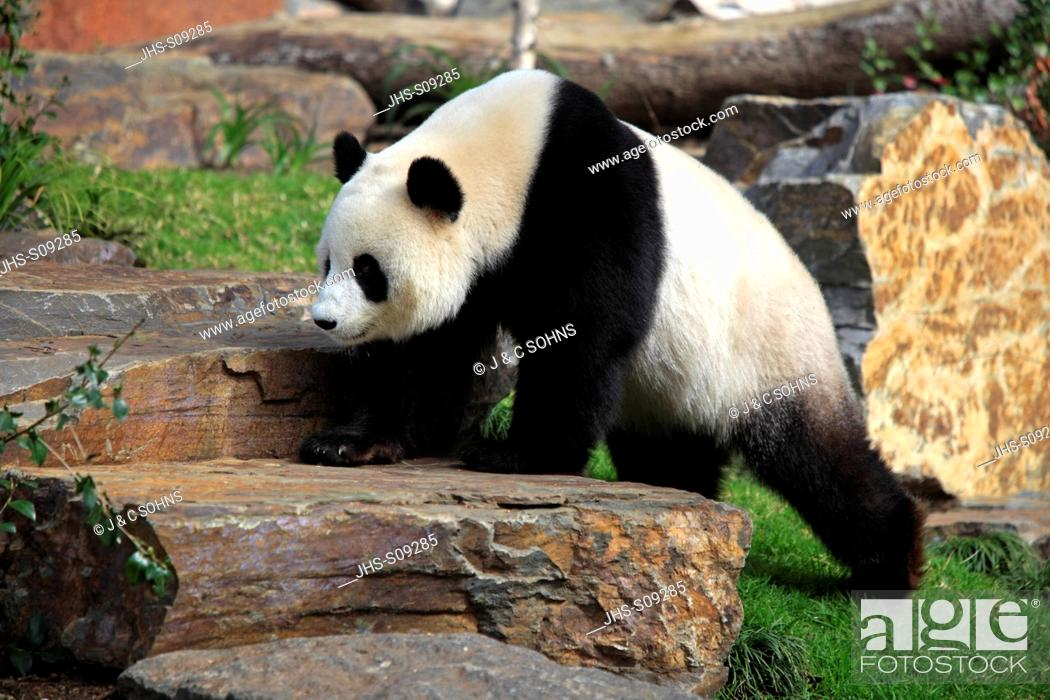 Stock Photo: Giant Panda,Ailuropoda melanoleuca,Adelaide Zoo,South Austalia,Australia,adult walking.