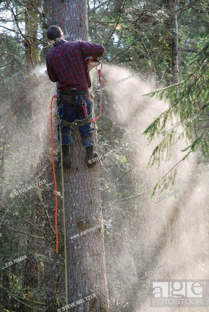 Stock Photo: Tree cutting, safety line, fir tree cutting, chainsaw use.