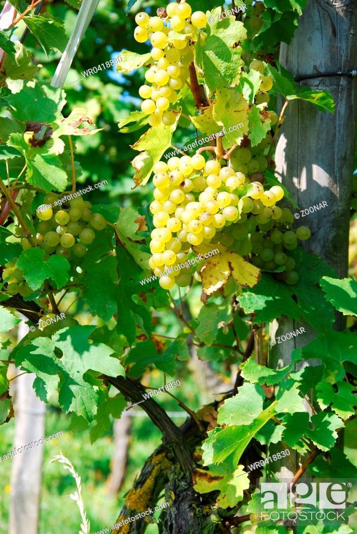 Stock Photo: grape.