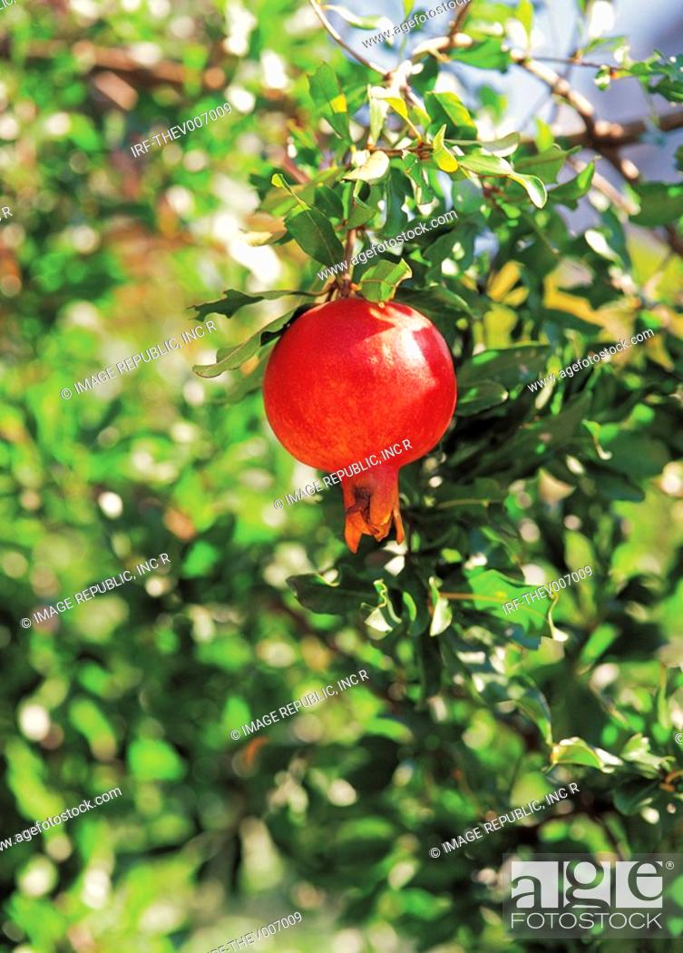 Stock Photo: pomegranate hung on the boughs.